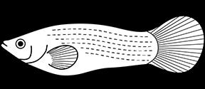 Sailfin molly
