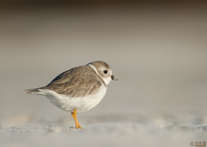 Piping Plover by Mia McPherson