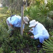 Ridge Rangers remove fencing