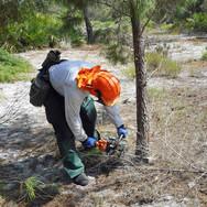 Ridge Ranger cuts down a sand pine