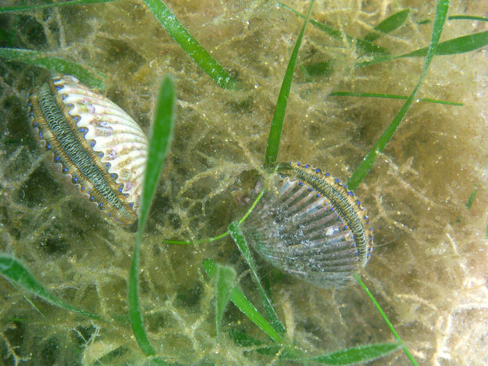 Bay scallops