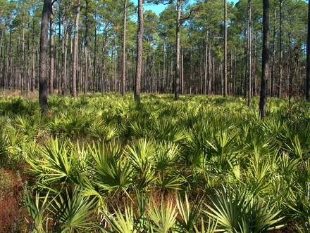 Flatwoods, one of Florida's many land cover types.
