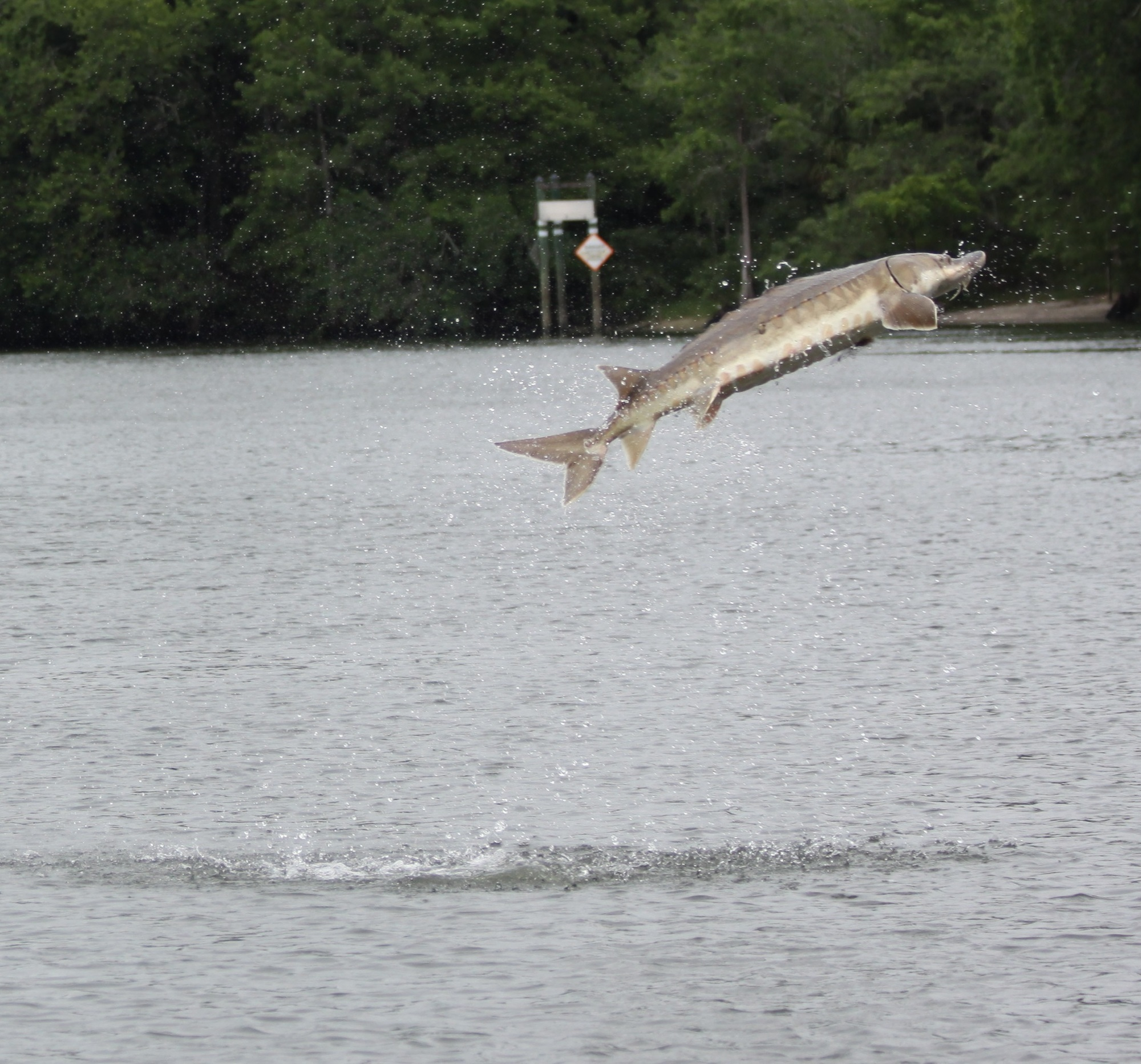 Sturgeon jumping out of the Suwannee River