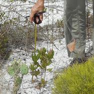 A scrub oak gets measured for a survey