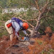 Ridge Ranger cuts down an intruding sand pine using a chain saw