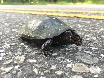 spotted turtle. Mark Kosiewski