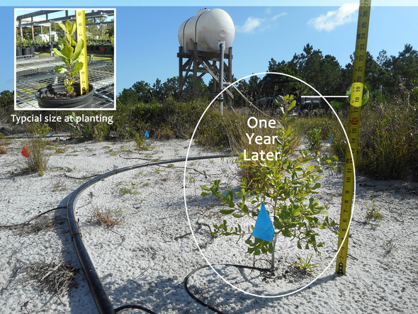 Ridge Rangers Scrub Oak Restoration Planting