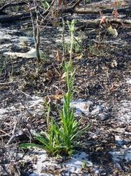 Eriognum Floridanum