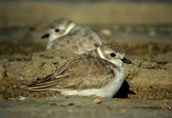 CWA Piping Plovers at Huguenot by Andy Wraithmell