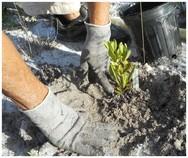 Ridge Ranger plants a scrub oak