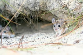 Florida Mouse