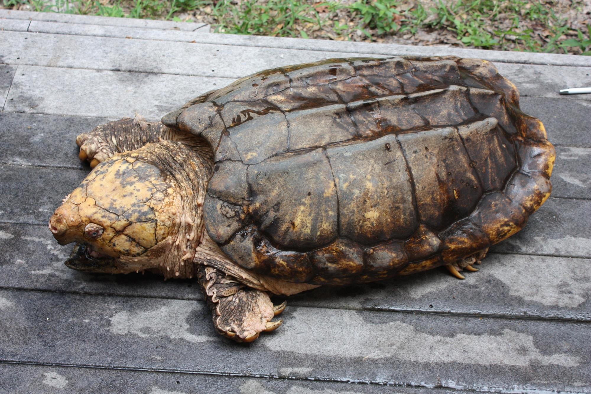 Suwannee alligator snapping turtle