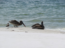 entangled pelicans