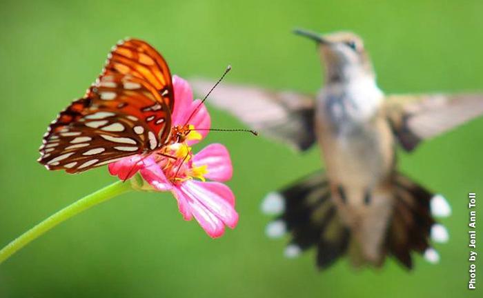 Hummingbird watching butterfly
