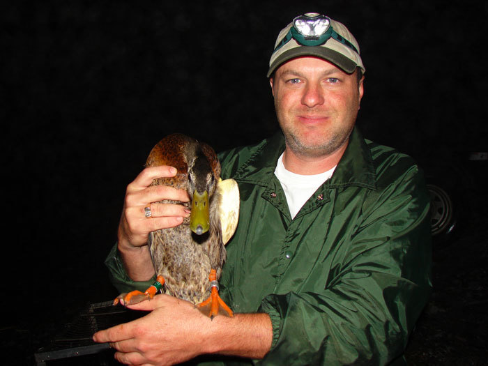 Biologist Andrew Fanning with banded mallard