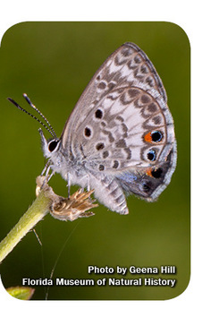 Adult Miami blue butterfly