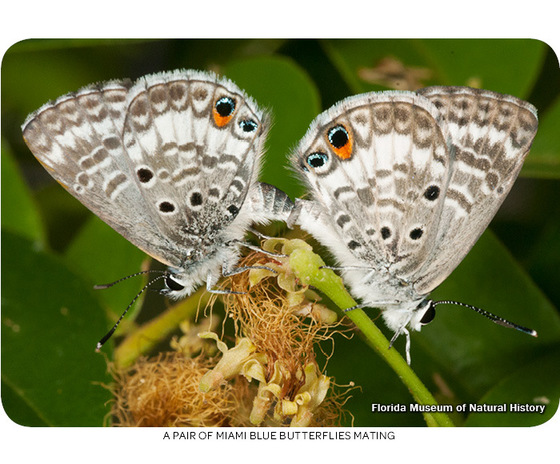 A pair of Miami blue butterflies mating