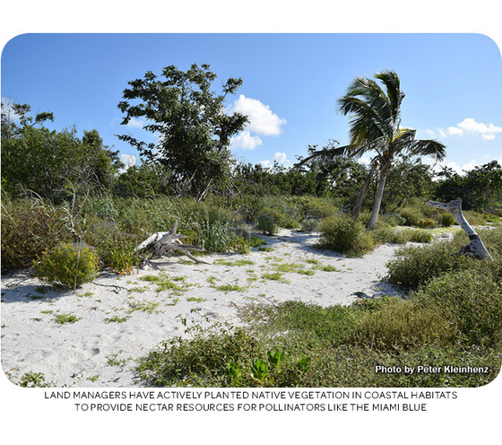 Land managers have actively planted native vegetation in coastal habitats to provide nectar resources for pollinators like the Miami blue