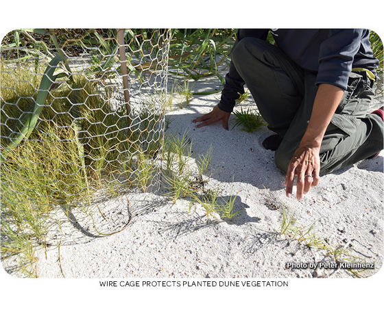 Wire cage protects planted dune vegetation