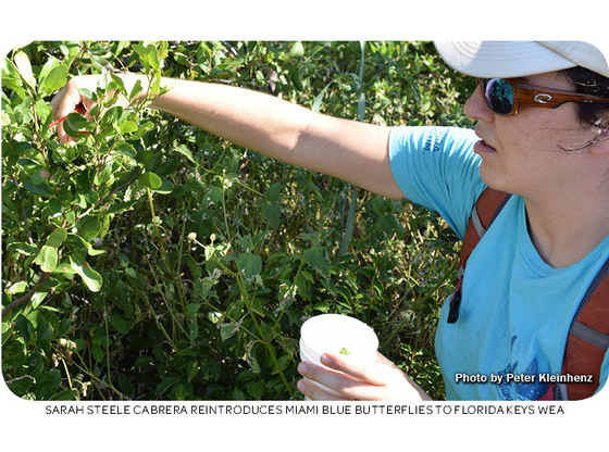 Sarah Steele Cabrera reintroduces Miami blue butterflies to Florida Keys WEA