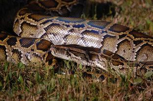 Python removal