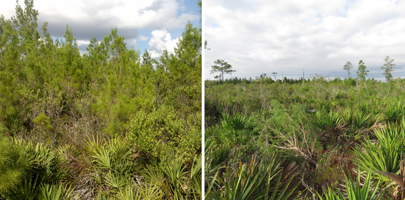 Before and After - Sand Pines Eliminated