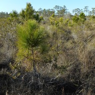 Intruding Pine in a conserved prairie at Avon Park Air Force Range