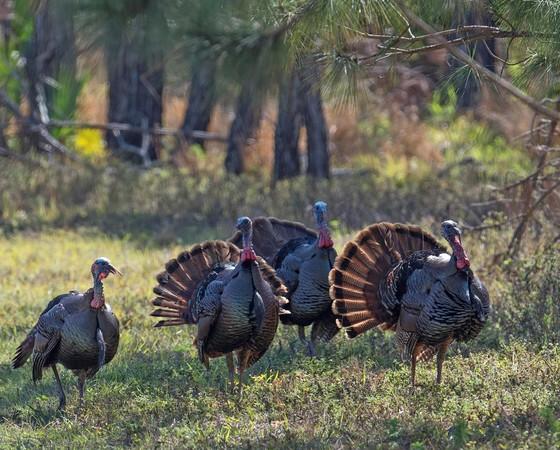 Wild turkeys by Andy