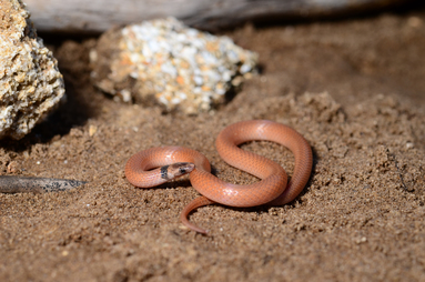Coastal Dunes Crowned Snake
