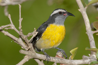 Bananaquits are occasionally spotted as vagrants in the Florida Keys. Photo by Reiner Munguia.