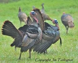 Wild turkey registry