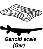Ganoid fish scale