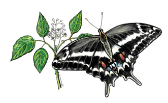 The beautiful Schaus' swallowtail will be featured on our 2019 Butterfly Big Year certificates!