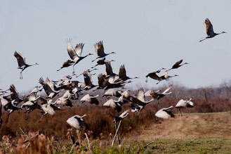 Sandhill Cranes in flight at Paynes Prairie Preserve State Park. Photo by Dominick Martino.