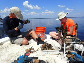 Oysters are measured by volunteers