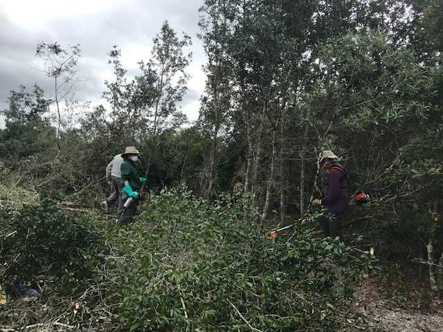 Ridge Rangers use power tools to remove an overgrowth of oaks
