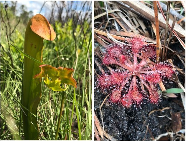 Hooded pitcher plant (left) and pink sundew (right)