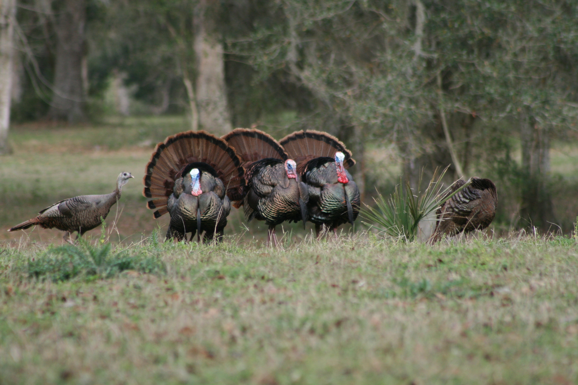 gobblers in field