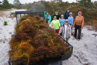 Four hundred pounds of parasitic love vine removed! Photo by FWC.