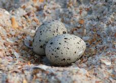 least tern nest by Alex Kropp