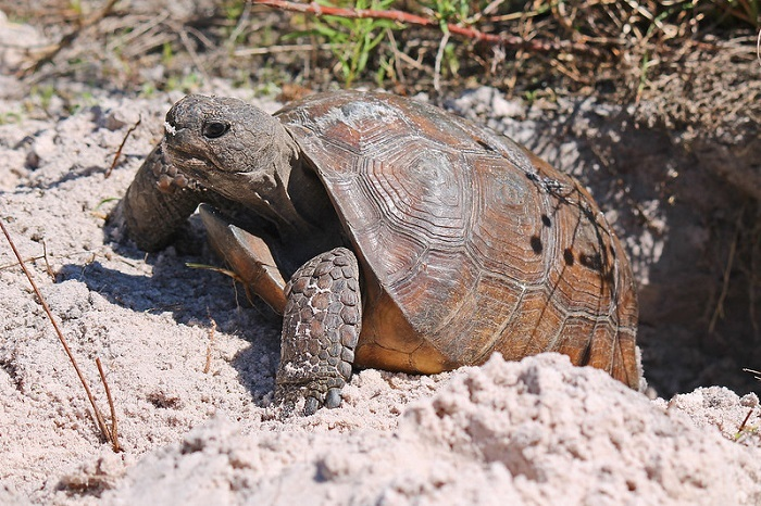 gopher tortoise exiting burrow