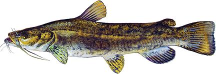 Flathead Catfish