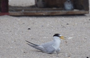least tern incubating egg by Andrea Pereyra