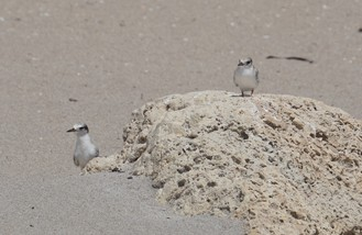 fledged least tern chicks by Andrea Pereyra
