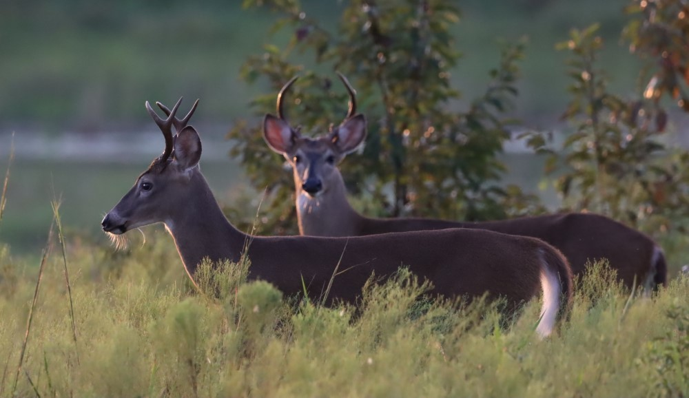 2 male white-tailed deer