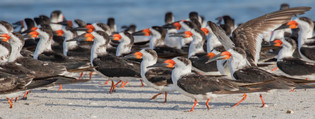 Black Skimmers by Jean Hall