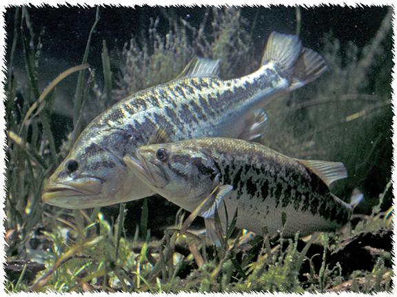 Spawning Largemouth Bass