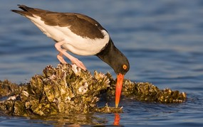 American oystercatcher by Maxis Gamez