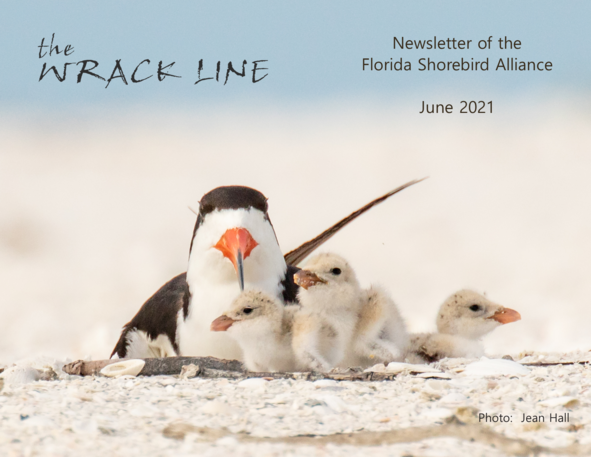 Black skimmer adult and chicks by Jean Hall