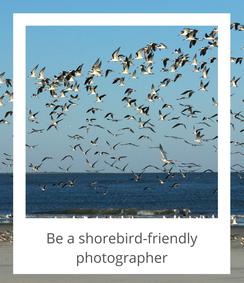 Be a shorebird-friendly photographer